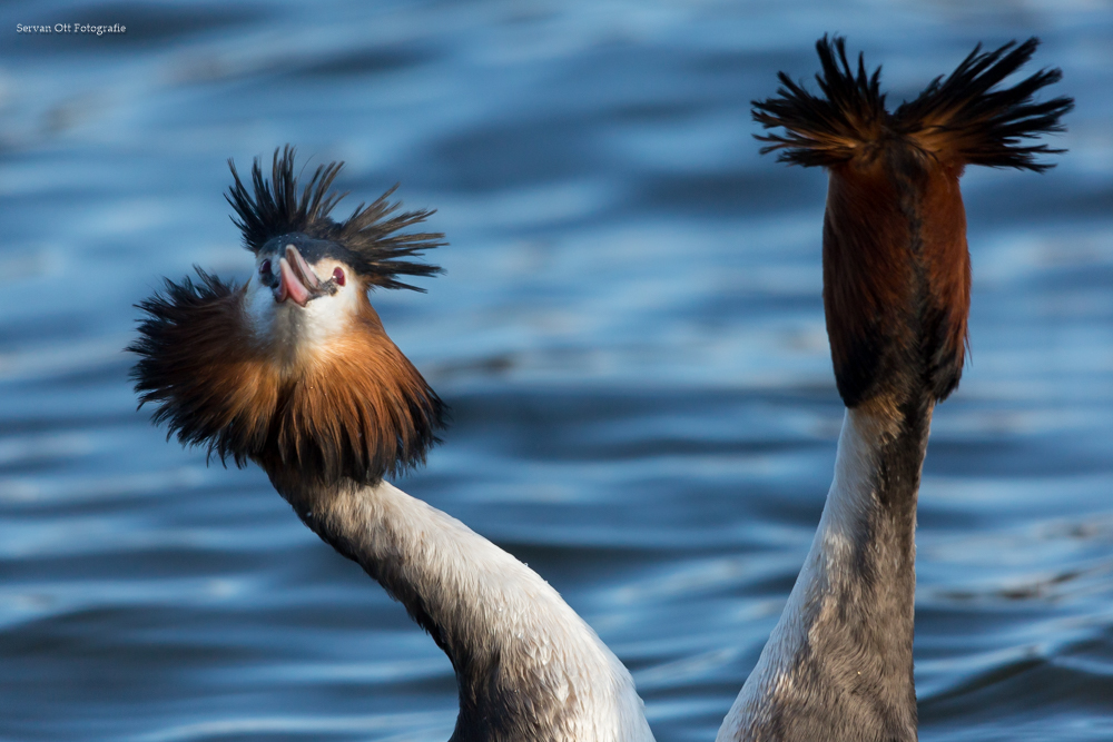 De Workshopsite - Vogelfotografie workshop Balts van de fuut