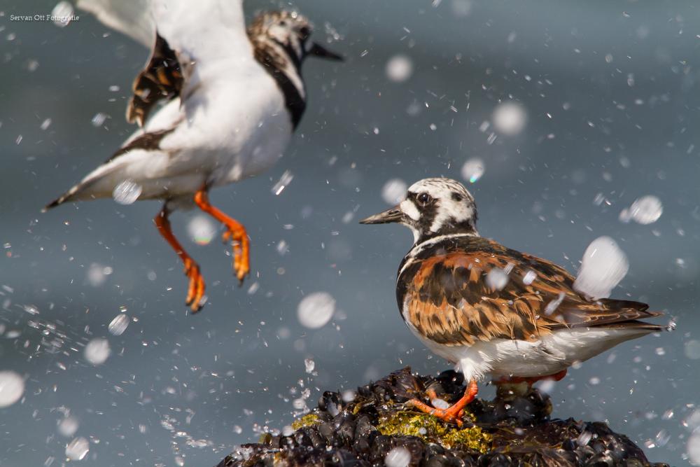 De Workshopsite - Vogelfotografie workshop Strand en pier van IJmuiden