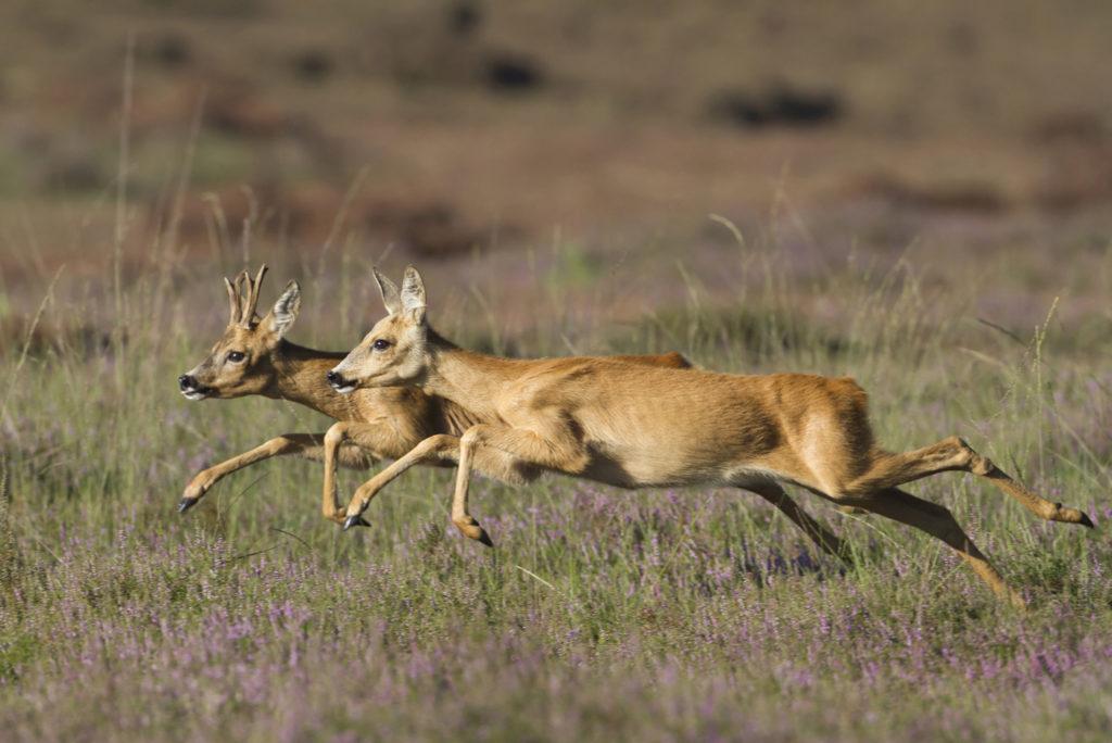 De Workshopsite - wildlife fotografie op zoek naar het Reewild
